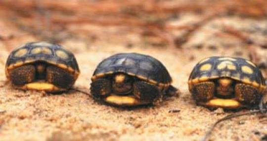 Riverbanks Zoo, SCDNR partner to safeguard endangered tortoise