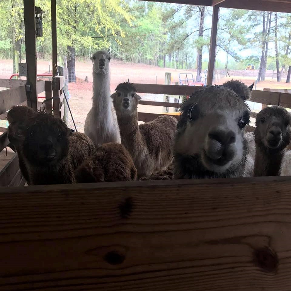The alpaca herd at Carolina Pride Pastures in Newberry. (Photo/ Carolina Pride Pastures)